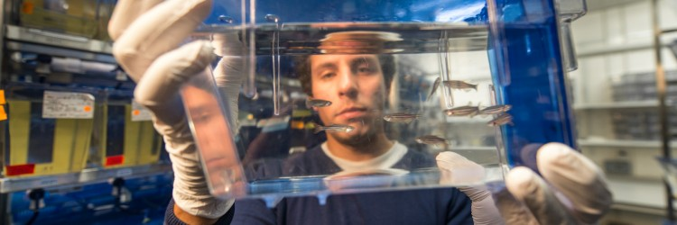 a researcher holding up zebrafish in a fishtank